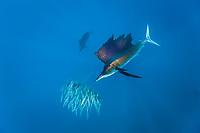 Sailfish hunting Sardines, Istiophorus albicans, Isla Mujeres, Yucatan Peninsula, Caribbean Sea, Mexico, Atlantic