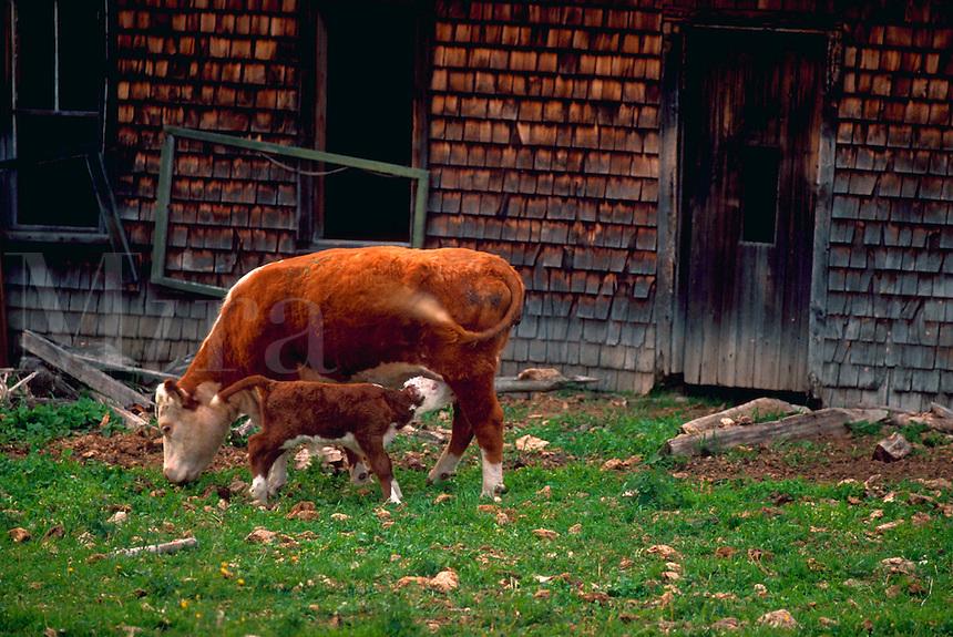 Dairy cow and calf feeding.