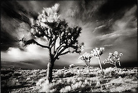 Joshua Trees, Joshua Tree National Park, CA<br />