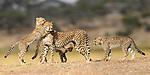 Female cheetah (Acinonyx jubatus) playing with three cubs (around 5 months old). Ndutu area, Serengeti / Ngorongoro Conservation Area (NCA), Tanzania.
