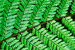 New Zealand, South Island, Westland NP, Fern Detail