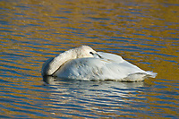 Trumpeter swan rests in a small tundra pond along the George Parks Highway in Interior, Alaska.