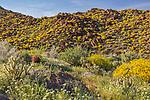 Anza-Borrego Desert State Park, CA: Brown-eyed primrose (Camissonia claviformis), and yellow flowering brittlebush (Encelia farinosa) in Glorieta Canyon in spring