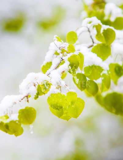 late spring snow on early summer aspen leaves in the mountains in montana