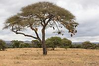 Tanzania. Tarangire National Park. Nests of the Rufous-tailed Weaver in Tree.