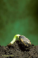 HS13-038d  Sunflower - seedling with seed coat emerging from soil - Helianthus spp.