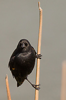 A Red-winged blackbird pauses to survey its surroundings at the neighborhood park known as The Duck Pond.
