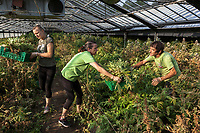 Switzerland. Canton Ticino. Sementina. Fioricultura Martinelli Sagl. A man and two women, all manual workers, are harvesting plants of cannabis CBD grown in glass greenhouses. The business of growing cannabis CBD is registered with the Swiss Federal Health Office. Several Swiss companies cultivate CBD plants in greenhouses as a tobacco substitute or according to medical standards in order to produce blossoms, concentrates, and other CBD products (oils, extracts and tinctures). The Swiss legal requirements have a 1 percent THC limit compare to the European Union (EU) where the THC limit is limited to 0.3 percent. Cannabidiol (CBD) is a phytocannabinoid discovered in 1940. It is one of some 113 identified cannabinoids in cannabis plants and accounts for up to 40% of the plant's extract. Cannabidiol can be taken into the body in multiple ways, including by inhalation of cannabis smoke or vapor, as an aerosol spray into the cheek, and by mouth. It may be supplied as CBD oil containing only CBD as the active ingredient (no included tetrahydrocannabinol [THC] or terpenes), a full-plant CBD-dominant hemp extract oil, capsules, dried cannabis, or as a prescription liquid solution. 22.07.2019 © 2019 Didier Ruef