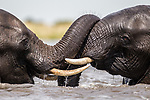 Pictured:  A pair of elephants share a tender moment.<br /> <br /> Heart-warming pictures capture the tender moments between animals in the wild.  Lions are caught on camera fondly bowing their heads towards each other as a lioness affectionately pulls another closer.<br /> <br /> A pair of elephants also lovingly embrace each other with their trunks as they dip in the water while spotted cheetahs nuzzle together, licking the rain off their faces.  Wildlife photographer William Steel captured the sweet moments between the animals at several national parks in Botswana - including Mabuasehube, Chobe National Park and Khutse Game Reserve.  SEE OUR COPY FOR DETAILS.<br /> <br /> Please byline: William Steel/Solent News<br /> <br /> © William Steel/Solent News & Photo Agency<br /> UK +44 (0) 2380 458800