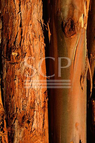 Espirito Santo State, Brazil. Close - up of a trunk of eucalyptus tree showing the bark; Aracruz plantation.