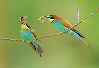 European Bee-eater (Merops apiaster), male feeding female, Hungary, Europe