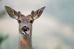 Black-tailed or mule deer, Washington, USA