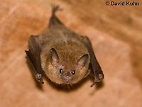 0715-1104  Seba's Short-tailed Bat, Roosting in Building in Belize, Carollia perspicillata  © David Kuhn/Dwight Kuhn Photography
