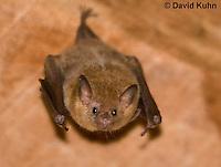0715-1104  Seba's Short-tailed Bat, Roosting in Building in Belize, Carollia perspicillata  © David Kuhn/Dwight Kuhn Photography