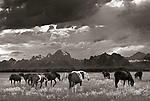 Horses on an open range with the Teton Range as a backdrop, Grand Teton National Park, Wyoming