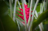 Heliconia flower. The Big island, Hawaii.