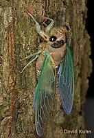 0901-0817  Recently Emerged Adult Dog-day Cicada, Tibicen spp.  © David Kuhn/Dwight Kuhn Photography..