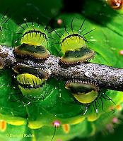 LE08-019z  Luna Moth - caterpillar feet - Actias luna