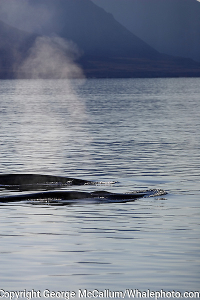 Fin Whale Balaenoptera physalus Pair surfacing and spouting near land Bellsund Spitsbergen Arctic Norway North Atlantic