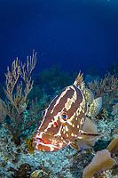 Nassau grouper, Epinephelus striatus, Bloody Bay Wall, Little Cayman, Cayman Islands, Caribbean Sea, Atlantic Ocean