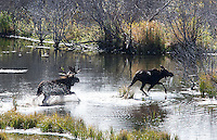 Autumn is a great time for moose viewing in the Tetons.