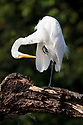 Great White Egret (Ardea alba), Cocha Salvador ox-bow lake. Manu Biosphere Reserve, lowland Amazon rainforest, Peru.