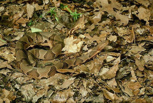 """Adult Copperhead snake, Agkistrodon contortrix, partly hidden by fall leaves poised and at attention using tongue to """"sniff"""" the environment. Midwest USA"""