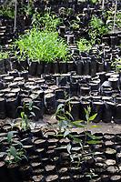 EGYPT, Ismallia , Sarapium forest in the desert, the trees are irrigated by treated sewage water from Ismalia, tree nursery / AEGYPTEN, Ismailia, Sarapium Forstprojekt in der Wueste, die Baeume werden mit geklaertem Abwasser der Stadt Ismalia bewaessert, Baumschule