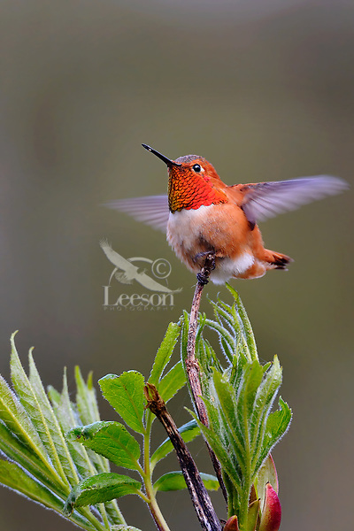 Male Rufous Hummingbird (Selasphorus rufus) displaying iridescence gorget just as he is coming in to land on branch.  Western Washington.  April.