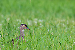 Hen wood duck in a summer meadow.