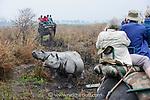 Tourists watching male and female Great One-horned Rhinoceros (Rhinoceros unicornis) - courting pair. Kaziranga National Park, Assam, India.