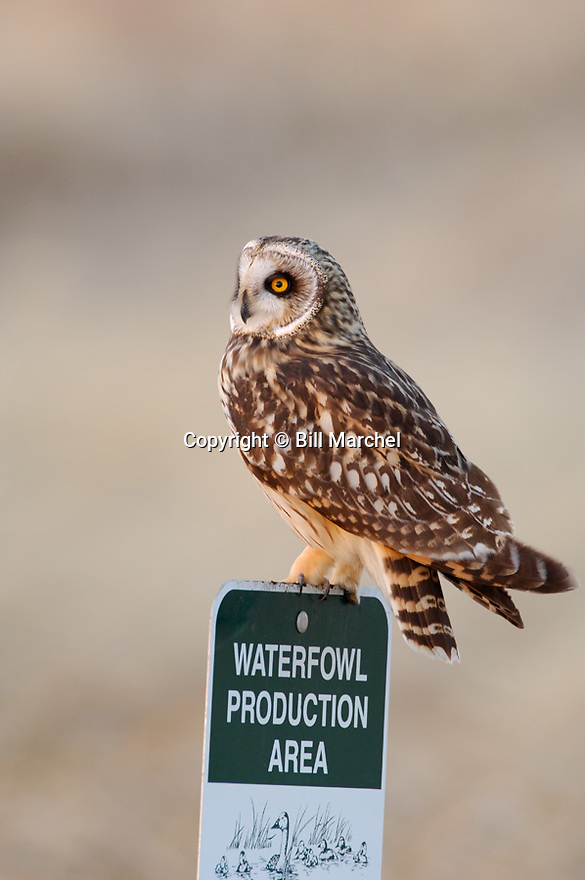00851-001.07 Short-eared Owl (DIGITAL) searches for prey while perched on Waterfowl Production Area sign. Bird, birding, raptor.  V3L1