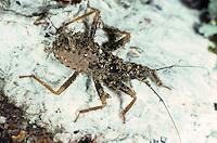 Staubwanze, Maskierter Strolch, Kotwanze, Große Raubwanze, Larve, Nymphe, Reduvius personatus, masked hunter, fly bug, larva, larvae, Raubwanzen, Reduviidae, assassin bugs