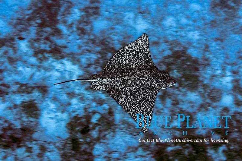 ocellated eagle ray, Aetobatus ocellatus, Ailuk atol, Marshall Islands, Pacific Ocean
