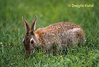 MA24-022z  Cottontail Rabbit - Eating grass - Sylvilagus floridanus
