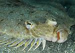 Flounder, Spot tail,  Bothus Robinsi, Flounder with bright green outline,Mating display colors, Underwater Marine life Behavior; Blue Heron Bridge; Lake Worth Inlet; Riviera; Florida; USA; Intra Coastal Waterway; North Atlantic Ocean.. 10-29-11-597