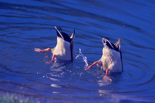Two mallard ducks, Anas platyrhynchos, go bottoms up fishing in a midwestern lake in summer