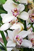 Gisela, FLOWERS, BLUMEN, FLORES, photos+++++,DTGK2566,#f#, EVERYDAY ,orchids