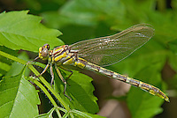 334120016 a wild female very teneral sulphur-tipped clubtail dragonfly gomphus militaris perches on a leaf stalk in beucher state park smithville bastrop county texas united states