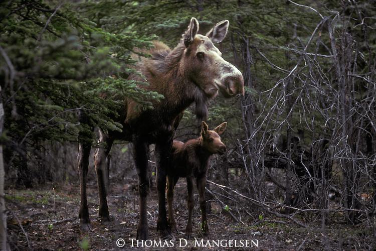 Portrait of a Moose and her calf in Denali National Park, Alaska.