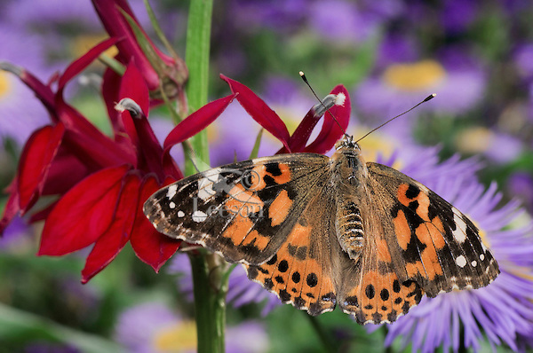 American Painted Lady Butterfly (Cynthia virginiensis) on Cardinal Flower (Lobelia cardinalis) in backyard garden.  Summer. Nova Scotia, Canada.