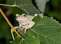 "0917-07ss  Gray Tree Frog - Hyla versicolor ""Virginia"" © David Kuhn/Dwight Kuhn Photography"