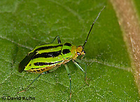 "0624-07zz  Four-lined Plant Bug ""Herb, Flower, and Crop Pest"" - Poecilocapsus lineatus - © David Kuhn/Dwight Kuhn Photography"