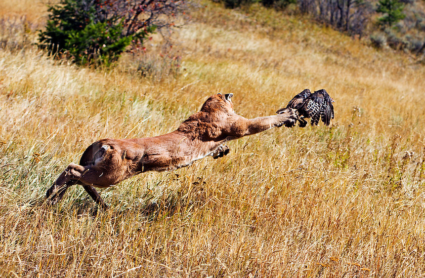 Mountain lion chasing wild turkey just misses, claws brushing across turkeys tail