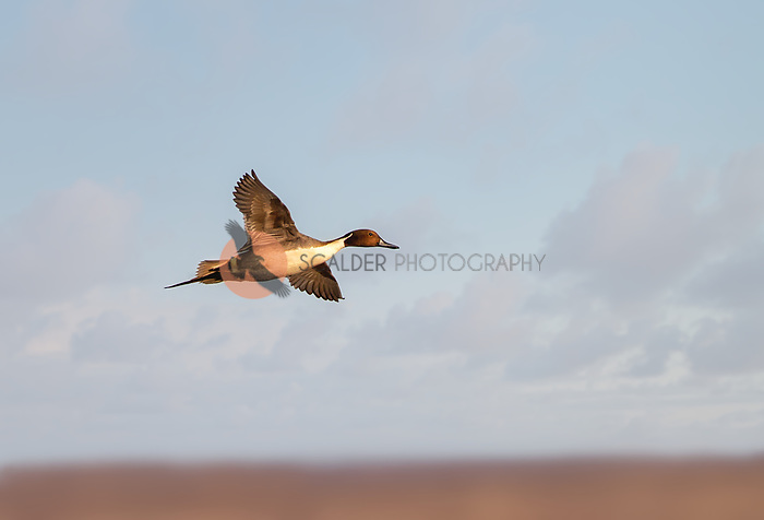 Male Northern Pintail in flight against blue sky with ground visible