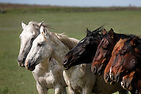 A bachelor band of wild horses face into the wind picking up scents from the rest of the herd.  A typical band includes a mare, stallion and foals.  Highly social animals, the males without mares form bonds.