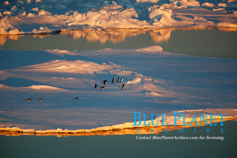 Adult Adelie penguins (Pygoscelis adeliae) hauled out on an ice floe at sunset in the Weddell Sea, Antarctica.