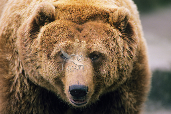 Grizzly bear close up showing his dish shaped face.