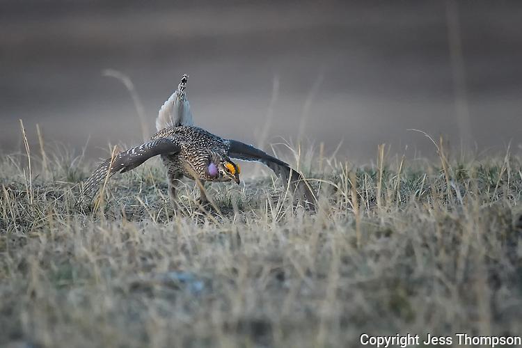 Sharp-tailed Grouse on a lek in Nebraska.