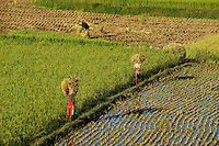MADAGASCAR Morarano , SRI system of rice intensification developed by french jesuit Henri de Laulanie to increase yield and reduce water usage, farmer harvest rice /MADAGASKAR Morarano , Bauern bei Reisernte , SRI System zur Intensivierung des Reisanbau , wurde in den 1980er Jahren auf Madagaskar vom franzoesischen Jesuit Henri de Laulanie zur Steigerung der Ertraege und Senkung des Wasserverbrauch entwickelt, Bauern ernten Reis, der im 25 cm Abstand gepflanzt worden ist
